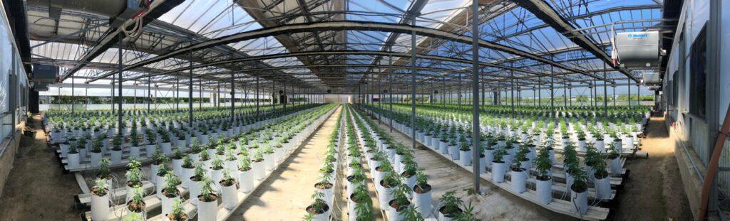 Productor nacional de CBD - CBD Organic Production